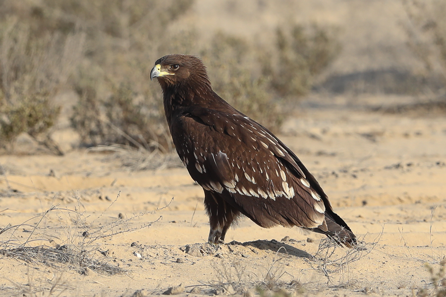 Wintering Greater Spotted Eagles – near Jubail