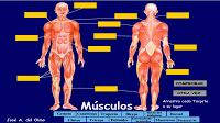 http://www.juntadeandalucia.es/averroes/~23003429/educativa/musculos.html