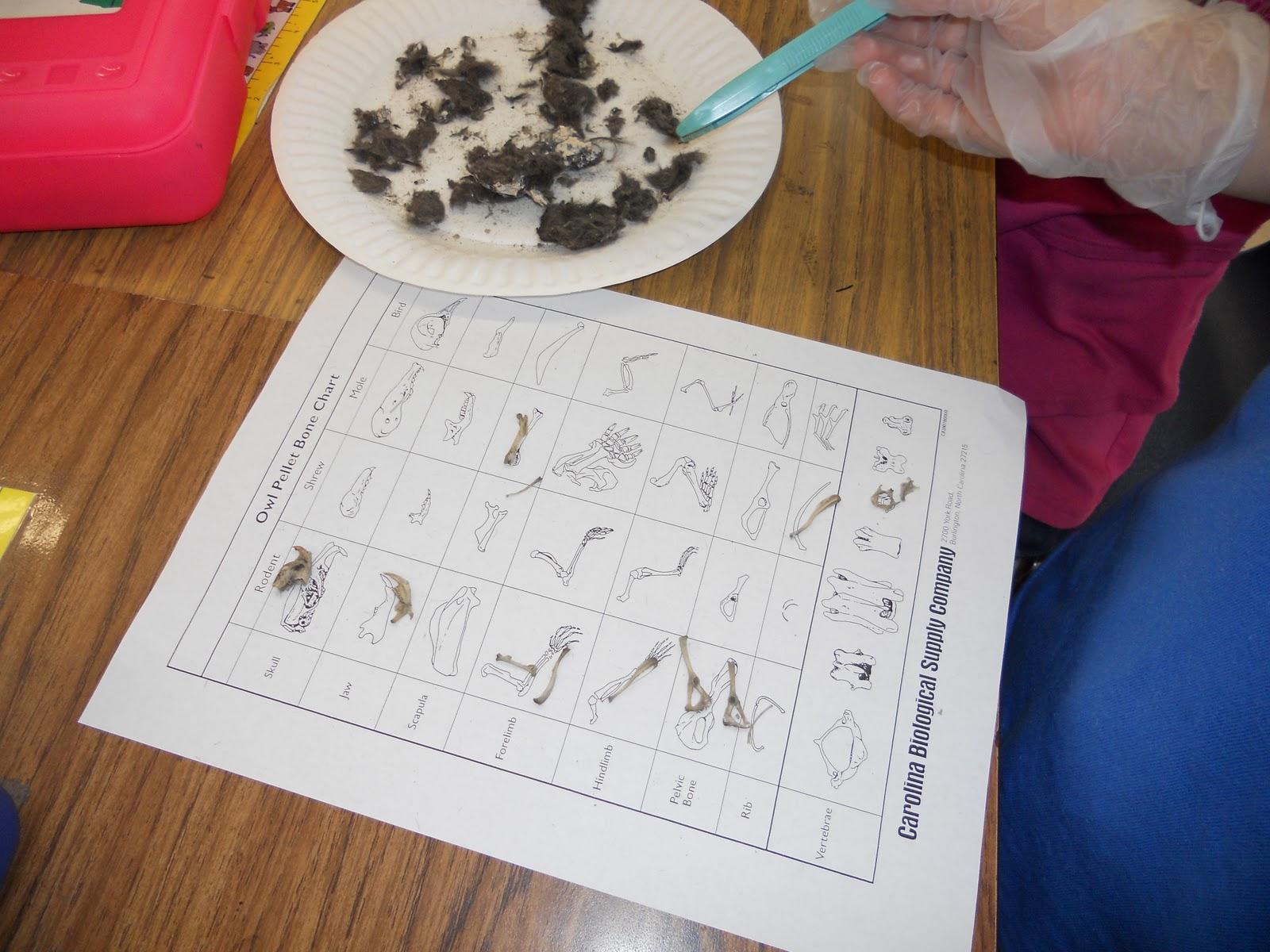 Teacher Bits And Bobs Owl Pellets And Skeleton Art