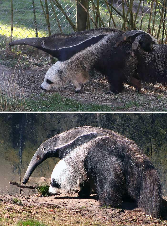 seperti panda