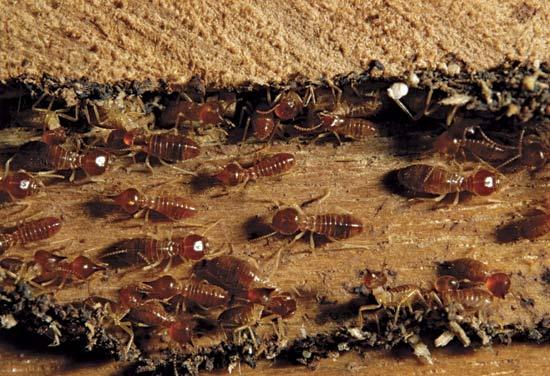 Termites Eating Wood Legal Schnauzer: Orkin...
