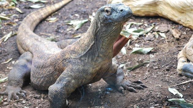 Reptil Komodo