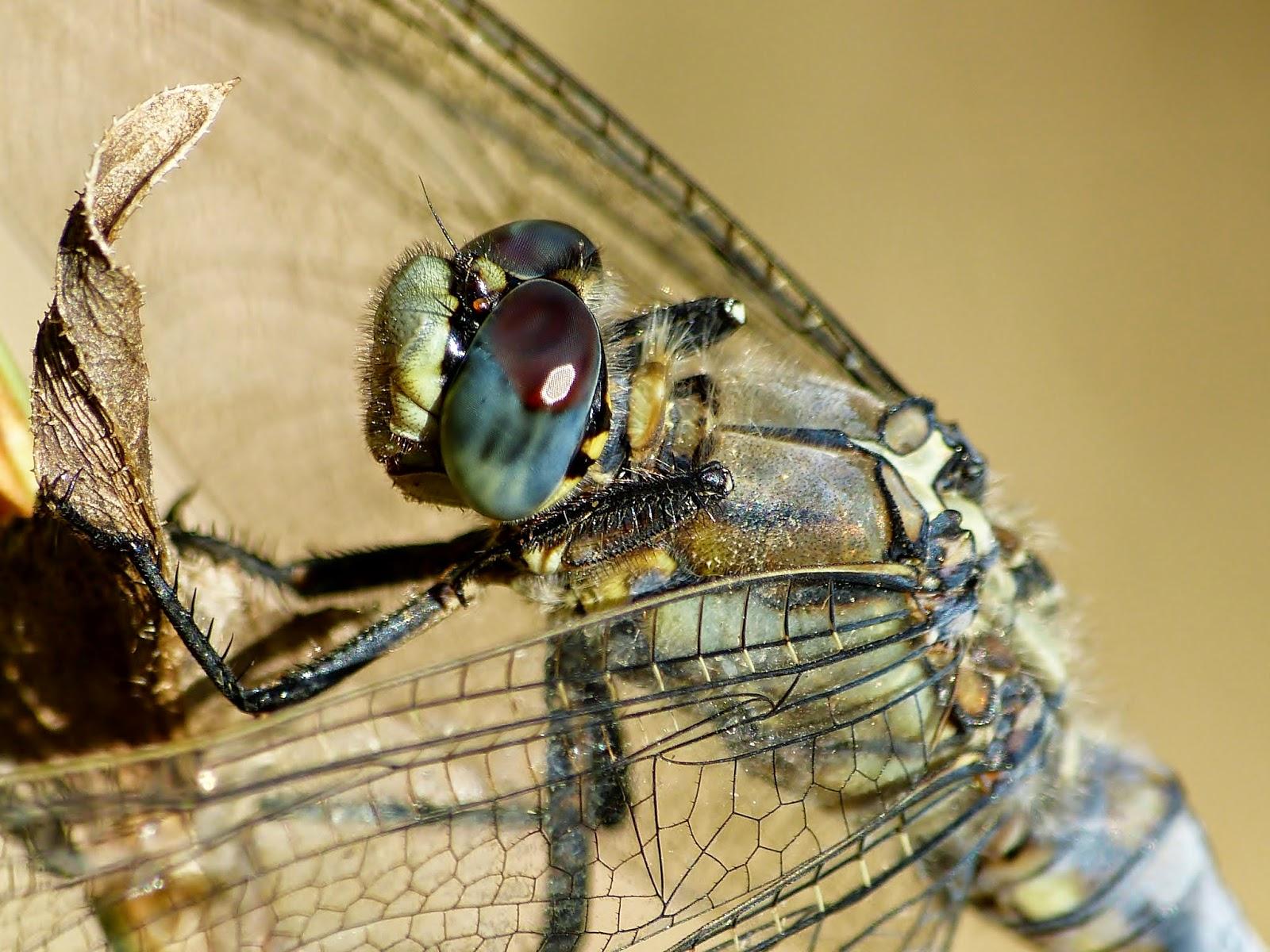 Terralonginqua Mon Copain L Agrion Insect Macro: Photos D'insectes: Les Odonates (Libellules Et Demoiselles