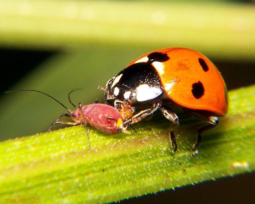 Resultado de imagen de hormigas trasportando pulgon
