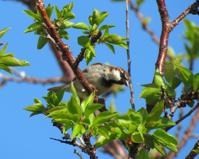 Sparrow on a tree, Spianata del Molo Mediceo, Livorno