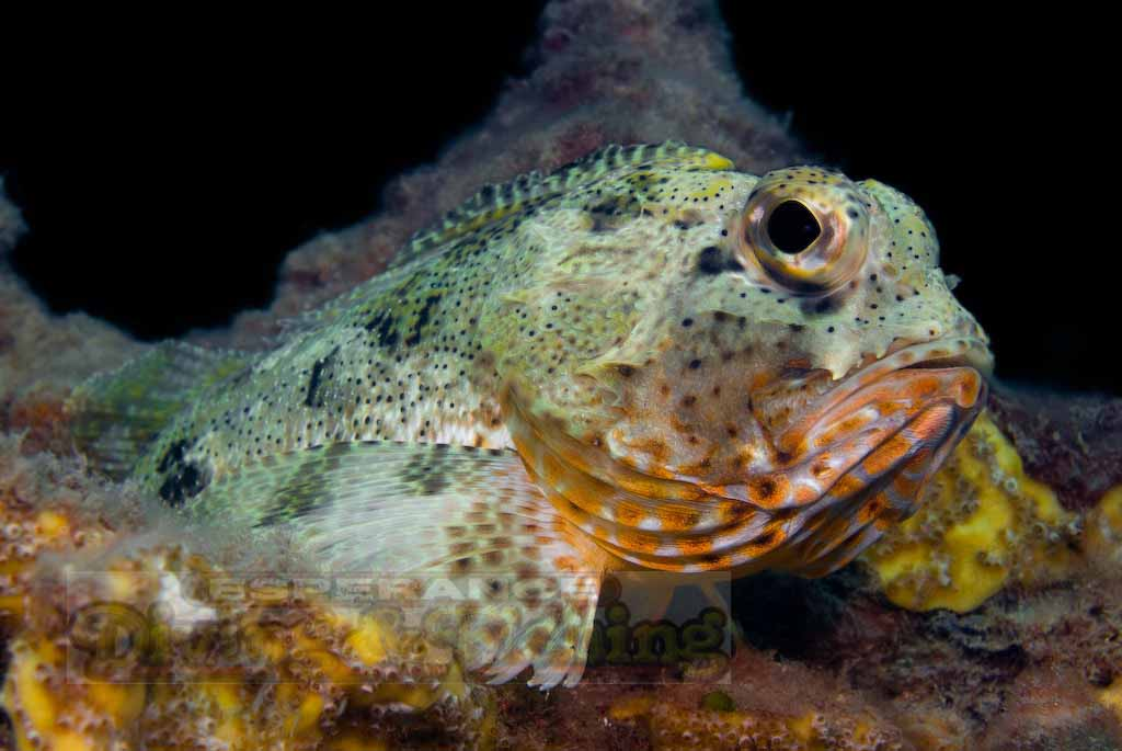 Free Animated Wallpapers For Mobile Phones Scorpion Fish Pictures Dwito Wallpaper