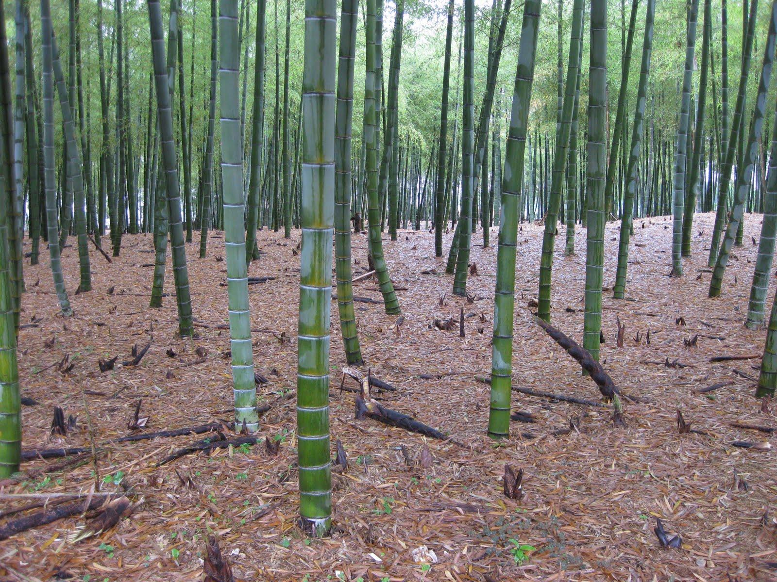 Coltivare Bamb Gigante In Italia.Lavori Veri