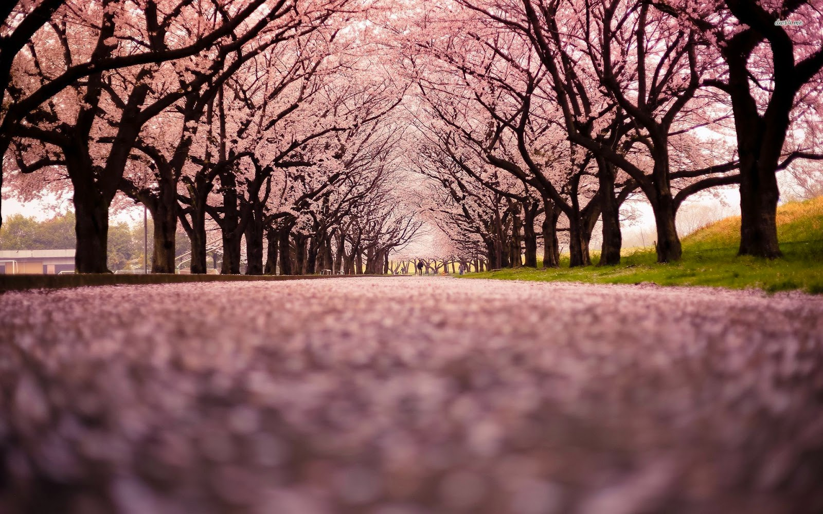 BEST HOLIDAY DESTINATIONS IN APRIL | Cherry trees in bloom Japan