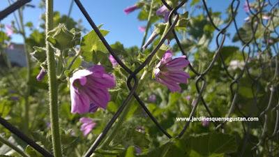 Malva (Malva spp.), hierba espontánea