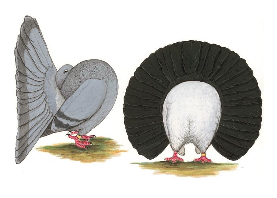 حمام الهزاز الانجليزي English Fantail Pigeonstypes انواع الحمام