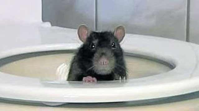 Enchanting Rat In Toilet Gif Gallery - Exterior ideas 3D - gaml.us ...