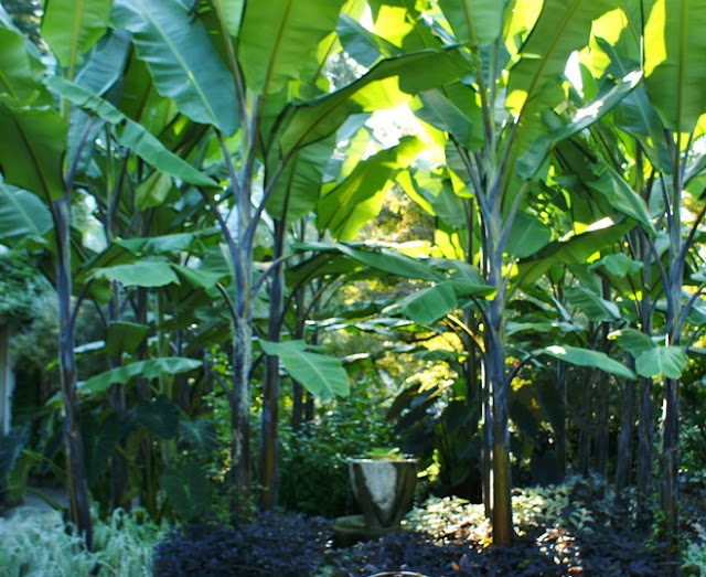 A grove of mature How to grow Musa balbisiana 'Atia Black' bananas