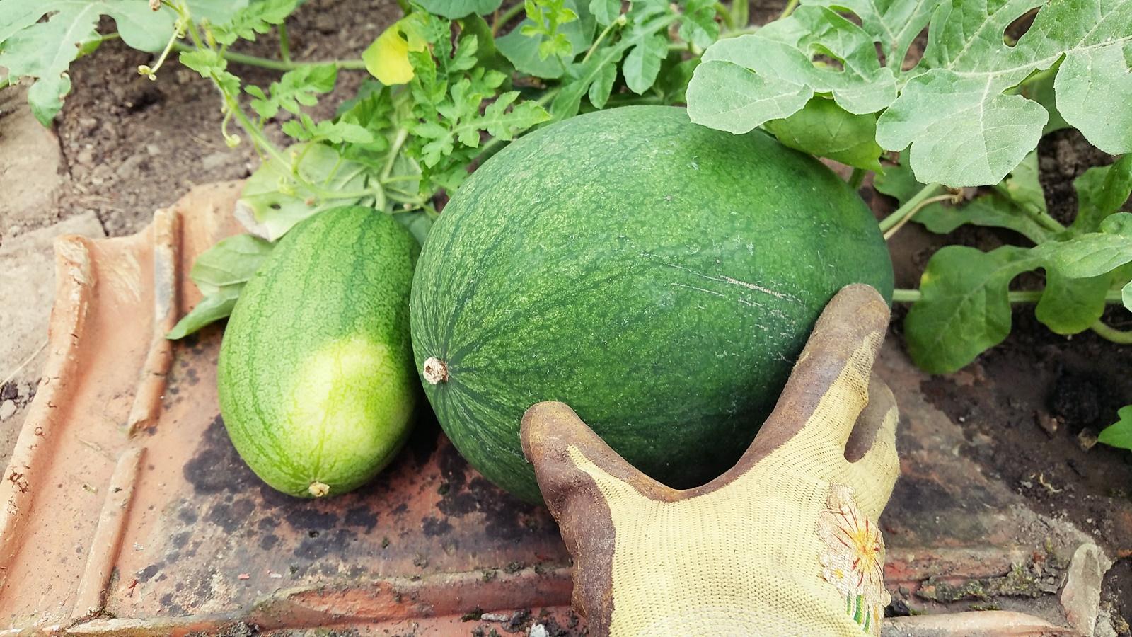 Mega Melonen