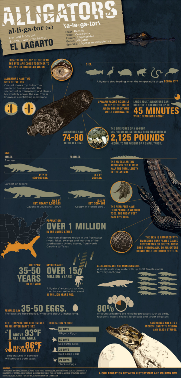 Alligator Infographic
