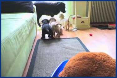 Labrador Welpen spielen