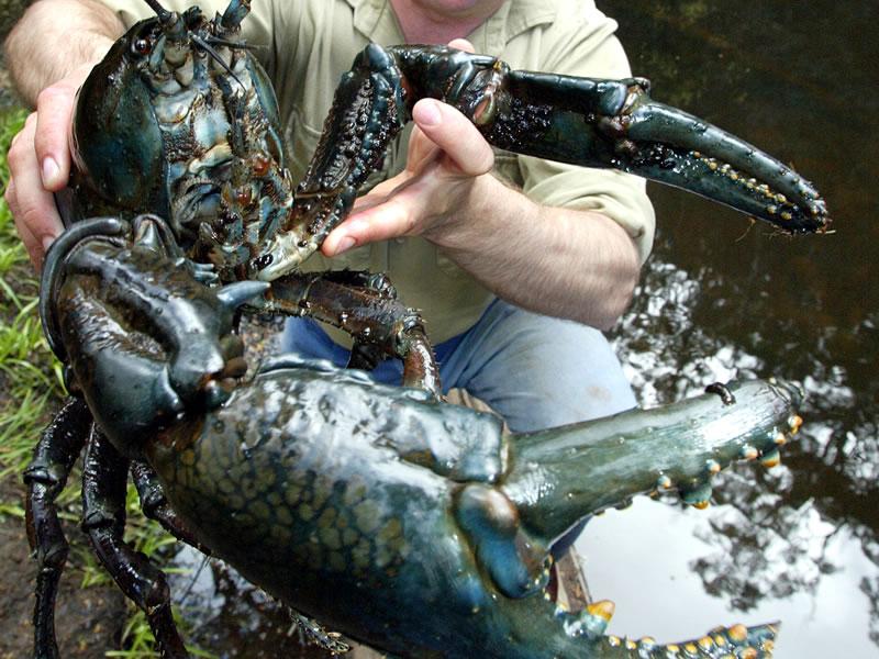 Cool Goby Blog Tasmanian Giant Freshwater Crayfish Astacopsis Gouldi