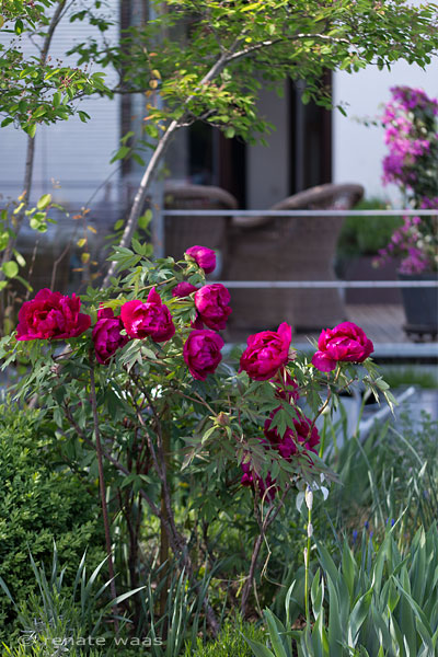 Paeonia suffruticosa Souvenir de Ducher im Staudenbeet