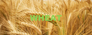 CME CBOT: ZW Wheat Futures Trading Strategy Today - Wheat price Long-term forecast and trade ideas