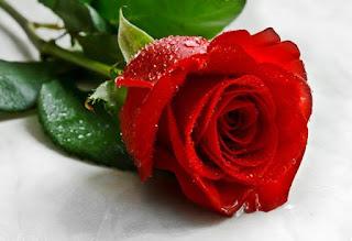 Gambar Bunga Mawar Merah Yang Cantik_Red Roses Flower 2001