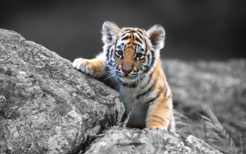 HD wallpapers tiger