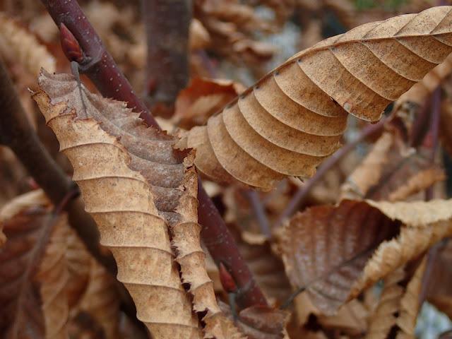 Gidelskie liście