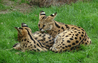 African Serval Kitten Images, Personality and Size