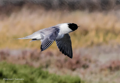 Swift tern in flight : Woodbridge Island, Cape Town Frame 2 / 5  Copyright Vernon Chalmers Photography