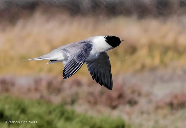 Swift tern in flight : Woodbridge Island, Cape Town Frame 2 / 5  Copyright Vernon Chalmers Photography