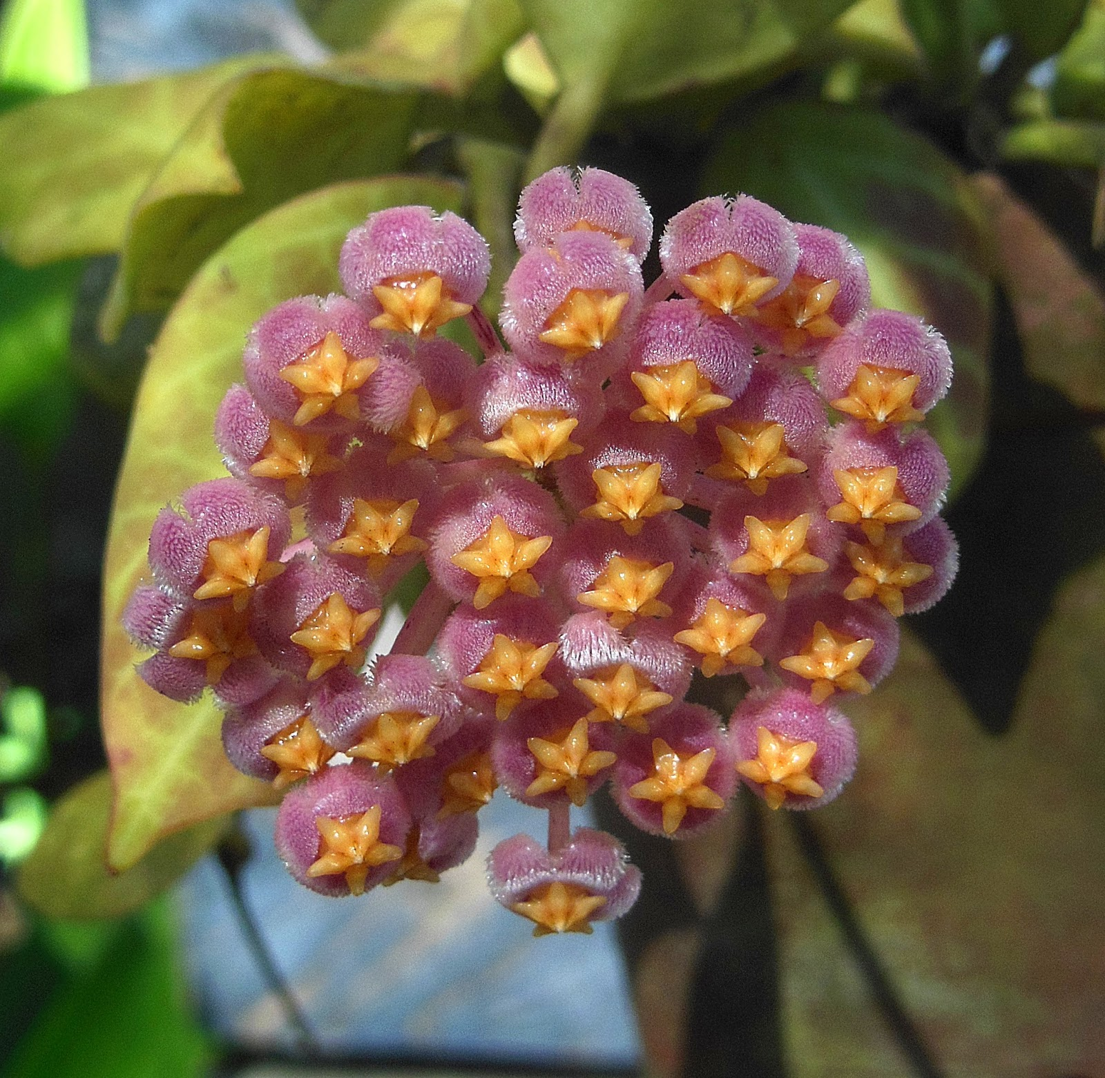 The Candy Flowers Of Hoya Obscura