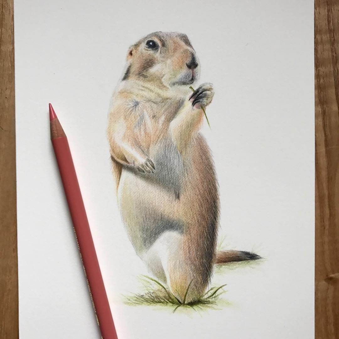 02-Little-Prairie-Dog-Paul-Miller-Wildlife-and-Domestic-Animal-Drawings-www-designstack-co