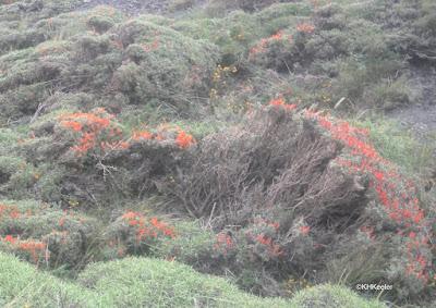 Anarthrophyllum desideratum, guanaco bush