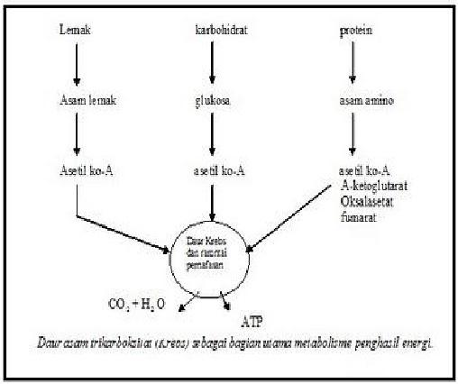 Pengertian Metabolisme Lipid Dan Prosesnya