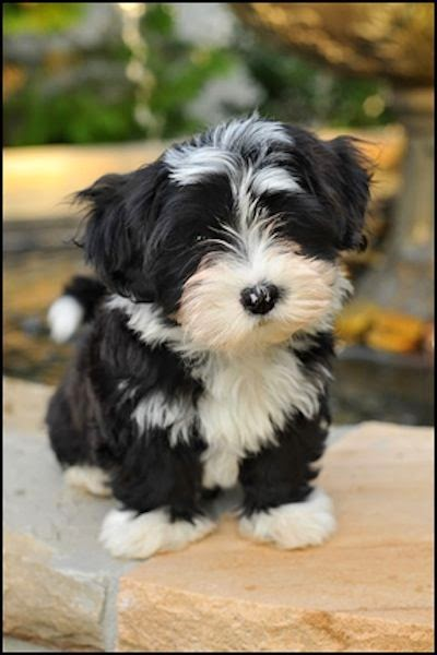 Cute puppy and dog: 3 Cute Amazing Havanese puppies