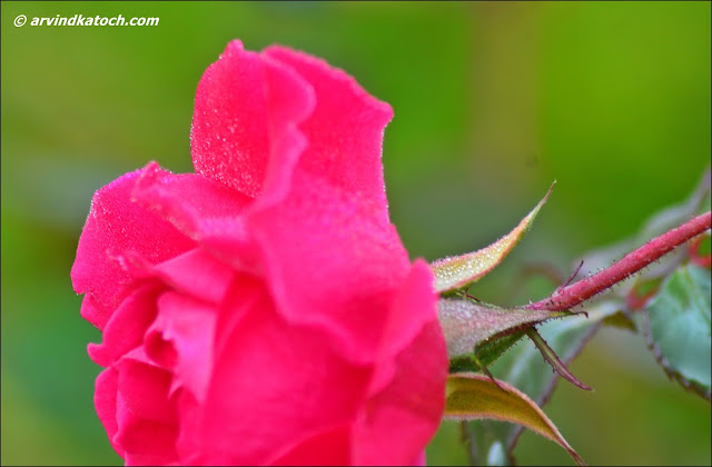 Dew Drops, Pink Rose, Rose, Flower