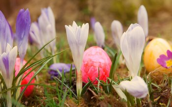 Wallpaper: Easter Holiday Eggs. Crocuses. Spring