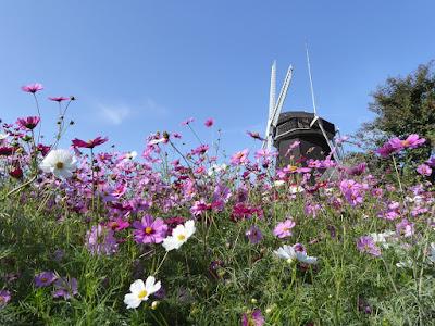 花博記念公園鶴見緑地 風車の丘 コスモス