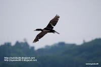 カワウの飛翔写真