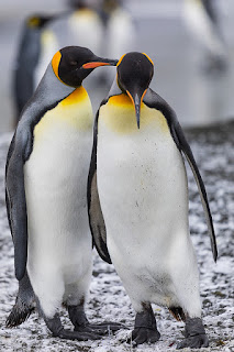 king penguins, extinction, Antarctica