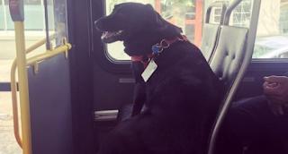 Το λαμπραντόρ ανέβηκε μόνο του στο λεωφορείο, αλλά όταν οι επιβάτες είδαν τι είχε στο κολάρο του; έμειναν με ανοιχτό το στόμα!