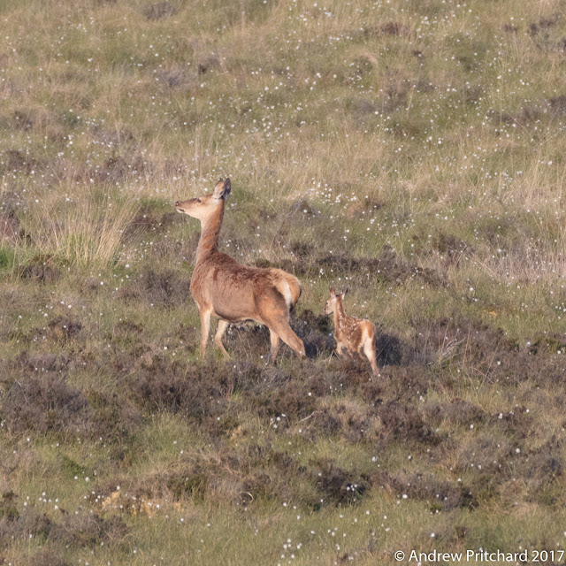 The calf follows mum very closely as the walk across the moor, with a backdrop of heather, grass and cotton grass.
