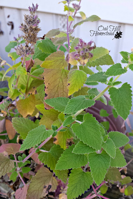 Catnip leaves are often used in a calming tea.