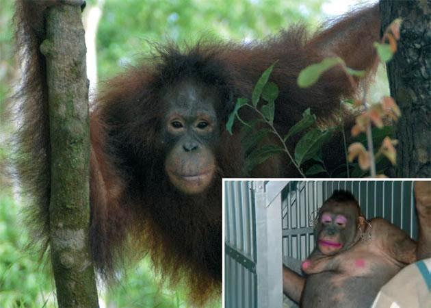 Village Captures Orangutans and Used Them as Prostitutes