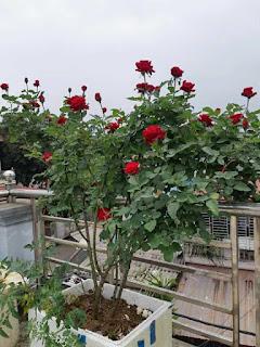 làm phân bón cá tưới cho hoa hồng ra nhiều hoa