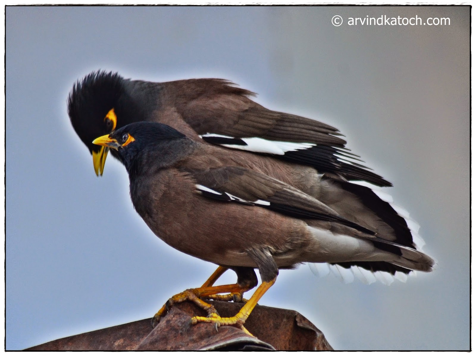 Common Myna, Indian Myna, Myna,