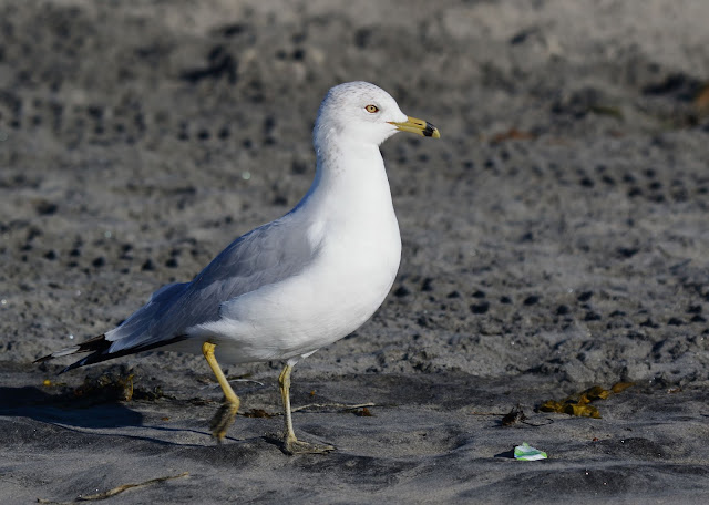 Ring-billed Gull. Coronado, California