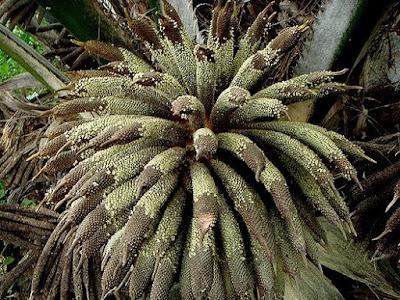 Fioritura Elaeis guineensis