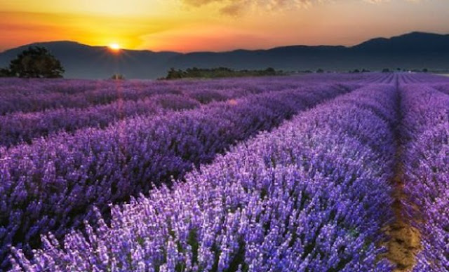 rows of lavender at sunset