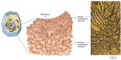 Macam macam retikulum endoplasma, RE kasar, RE halus, retikulum endoplasma kasar, retikulum endoplasma halus