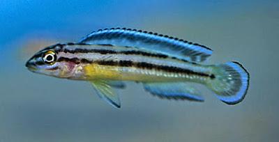 Ciclido Julidochromis Dickfeldi