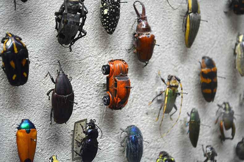 Un VW escarabajo localizado en la Colección de Insectos en el Museo de Historia Natural de Cleveland